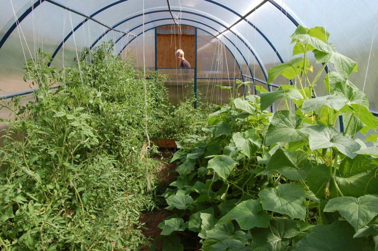 Огурцы : что можно посадить в одной теплице вместе с овощем